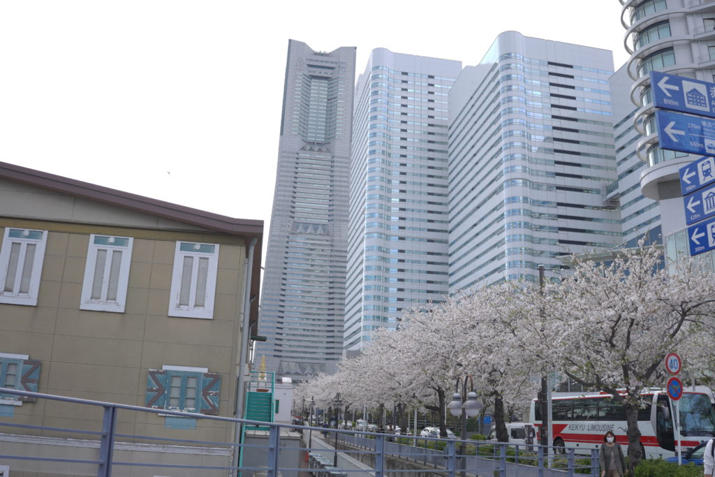 みなとみらい 桜 開花