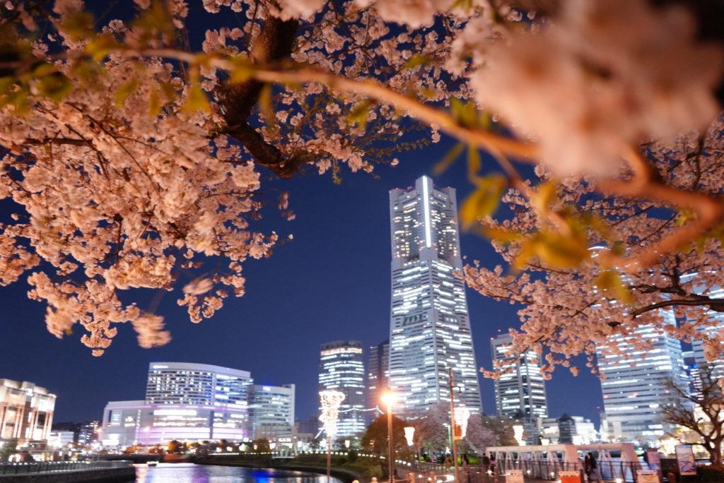 みなとみらい 桜 開花 夜景